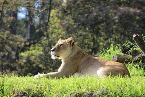Fototapeta Lazy Lioness