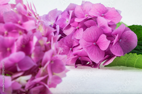 delicate pink purple hydrangea on a twig on a light background with backlight - 212422670