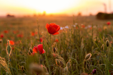 Beautiful field of red poppies in the sunset light