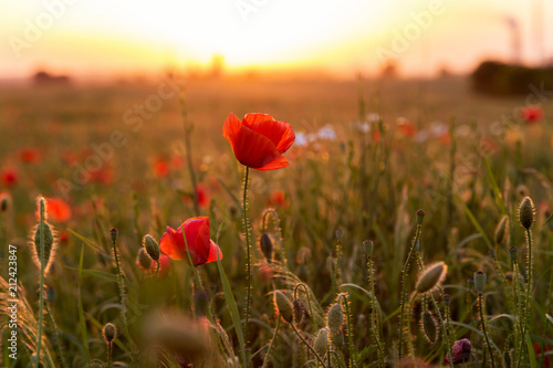 Fotobehang Klaprozen Beautiful field of red poppies in the sunset light