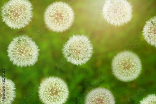 Top viwe of fluffy dandelion flower with sunlight in summer. - 212424235