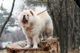 Chinese white chow chow - 212426800