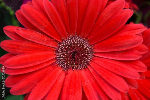 Plexiglas Gerbera Bright Red Daisy Flower