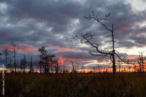 Aluminium Zwart Sunset landscape in the swamp. Sunset, grass, dry trees