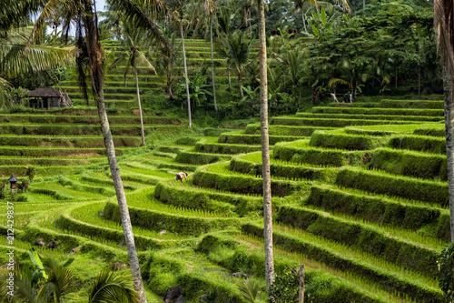 Fotobehang Bali Visit a UNESCO Jatiluwih Rice Field in terraces, Bali, Indonesia