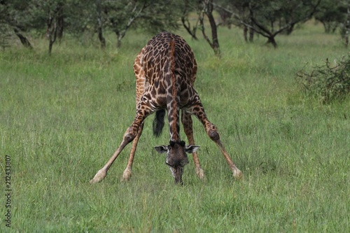 Sticker Giraffe, young Masai Giraffe, Serengeit