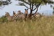 Zebra, herd of Zebras under a tree, Rwanda, Afrika
