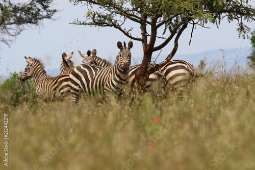 Zebra, herd of Zebras under a tree, Rwanda, Afrika