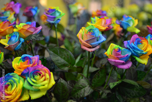 colorful beautiful rainbow roses with green leaves and stalks in the garden Keukenhof Netherlands