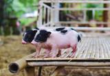 pig small body dwarf pigs miniature - 212454670