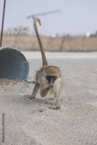 Obraz na płótnie Carol the monkey