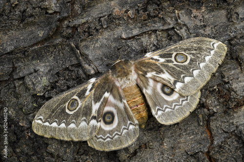 Zig-Zag Emperor Silkmoth - Gonimbrasia tyrrhea, beautiful large moth from African forests and bushes. - 212460240