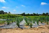 Schnittlauch Anbau Feld im Sommer - 212469479