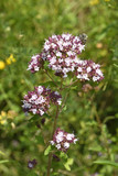 Echter Dost / Oregano (Origanum vulgare) - Blütenstand mit Honigbiene  - 212474839