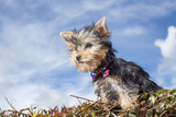 Yorkshire terrier in natural background. Yorkie