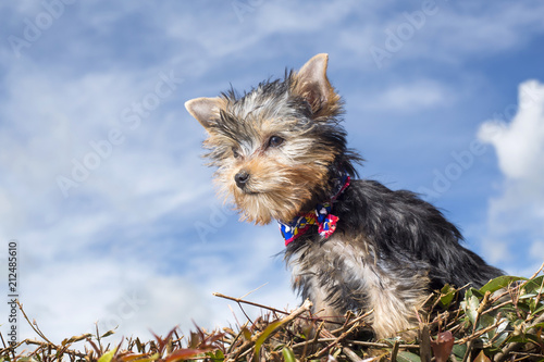 Yorkshire terrier in natural background. Yorkie - 212485610