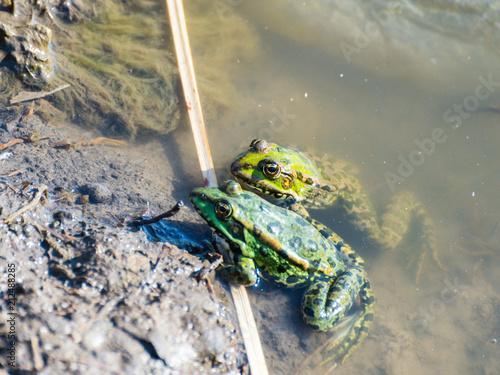 Fotobehang Kikker Green frog family