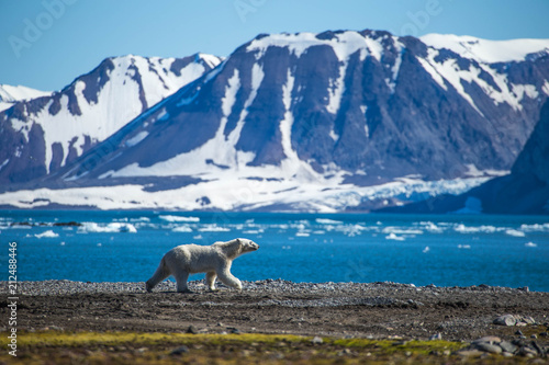 Canvas Ijsbeer Polar bear in south Spitsbergen.
