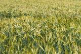 Margeriten im Weizenfeld