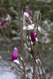 Downy, Vivid Pink Flower Buds Dusted With Snow in Early Spring - 212505885