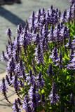 Harfenstrauch (Plectranthus  spec.) - 212507006