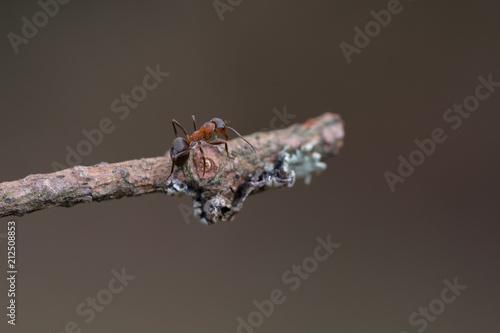 Ant walk on tree , macro - 212508853