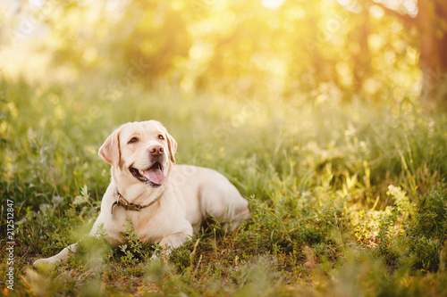 Leinwandbild Motiv Active, smile and happy purebred labrador retriever dog outdoors in grass park on sunny summer day.