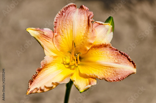 Fototapeta Yellow, Peach, and Red Lily