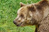Portrait of Bear © Sergej Razvodovskij
