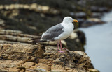 Seagull on the lookout - 212525446