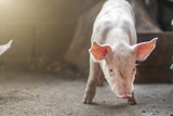 New bron 2 week old piglet on a farm. - 212527431