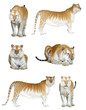 male and female golden tabby tiger isolated