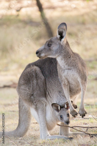 Fotobehang Kangoeroe Kangaroo and joey in pouch