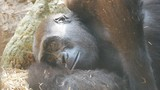 A close-up of a gorilla having a rest. - 212532629