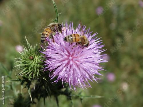 pszczoła na kwiacie