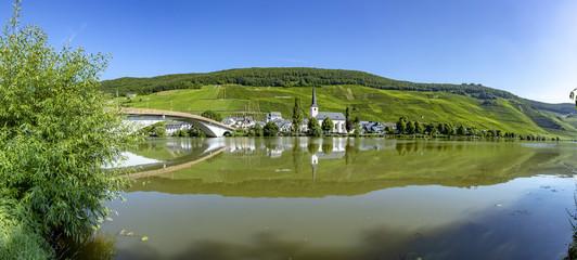 growing vine in the vinyard in Moselle valley