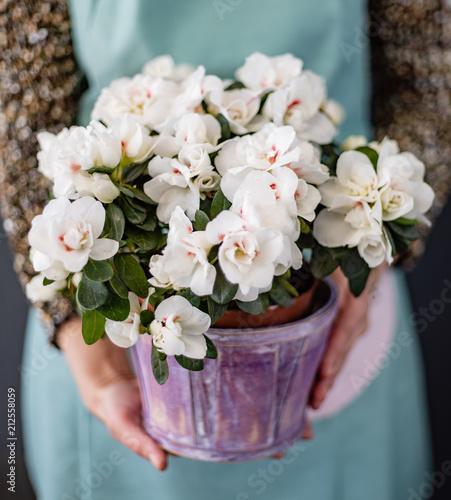 kwiat azalia w doniczce
