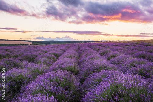A gentle pink sunset in a lavender field. Flowering of lavender.
