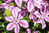 bush of pink clematis flowers in sunny garden in the summer - 212562216
