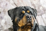 young Rottweiler breed dog close-up portrait of a head - 212569665