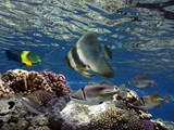 Underwater world. Coral fishes of Red sea - 212578068