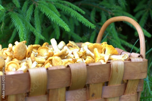 Chanterlle Mushrooms in a Wooden Basket in the Forest - 212579606