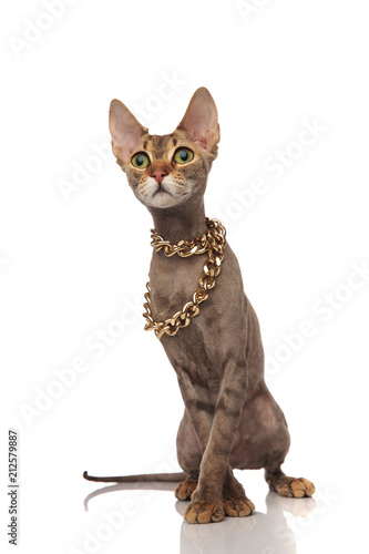 adorable metis cat wears gold necklace and looks to side - 212579887