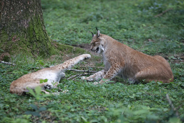 Eurasischer Luchs (Lynx lynx) zwei Jungtiere spielen