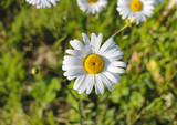 .Chamomile garden. white flowers of Russian chamomile daisy. Beautiful nature scene with blooming medical chamomilles in sun flare. Alternative medicine Spring Daisy. Summer flowers.