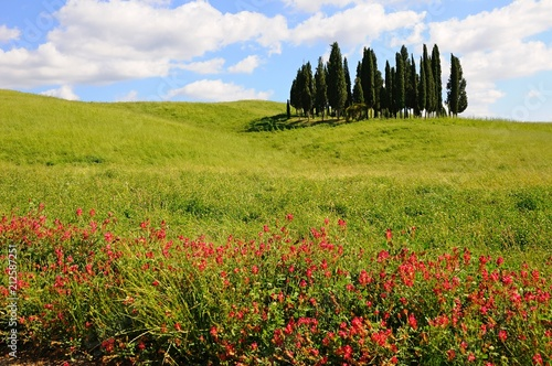 Fotobehang Pistache Beautiful cypress tree grove in a field in summer, in Tuscany, Italy
