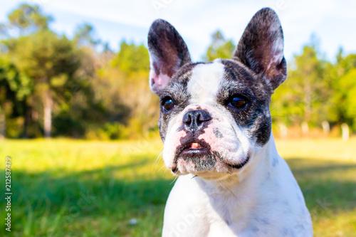 Foto Spatwand Franse bulldog capa de revista