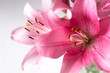 A fragment of pink lilies   bunch on a white background