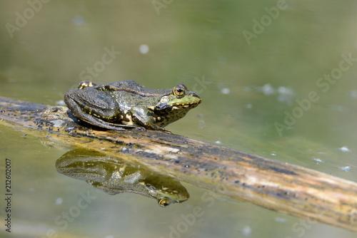 Fotobehang Kikker Frosch sitzt auf Baumstamm im Teich
