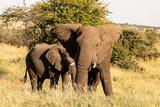 Elefant - 212604047